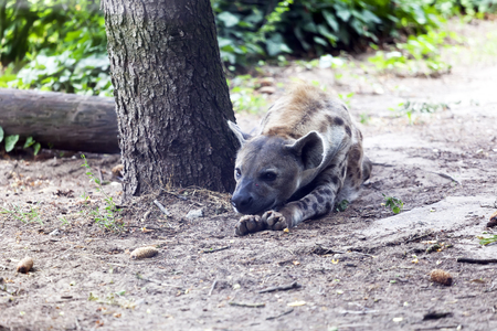 Hyena lies next to the tree and rests Stock Photo