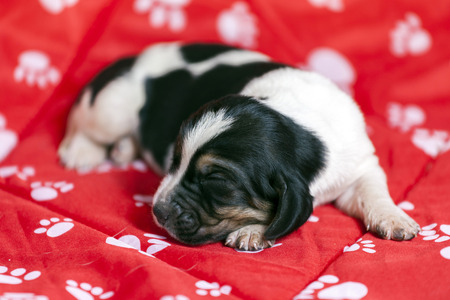 Pretty and gently Basset hound puppy, which is an old one week lying on a red mat and sleeping Stock Photo