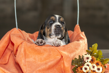 Pretty and gently Basset hound puppy, which is an old three week. A beautiful baseball hound is sitting in a knitted basket. Stock Photo