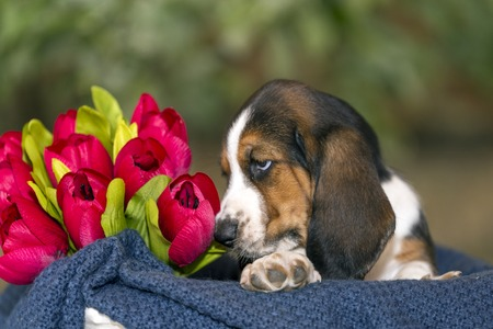 Gentle and sweet Basset hound puppy with sad eyes sitting in a basket on the blanket