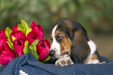 Zacht en zoet Basset hondenpuppy met droevige ogen die in een mand op de deken zitten