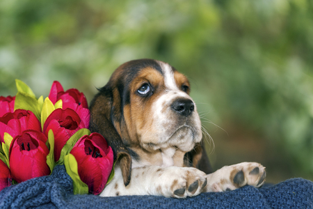 Gentle and sweet Basset hound puppy sits on a blanket