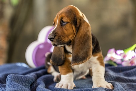 basset: Pretty and gently Basset hound puppy, which is an old three week. A beautiful baseball hound is sitting in a knitted basket. Stock Photo