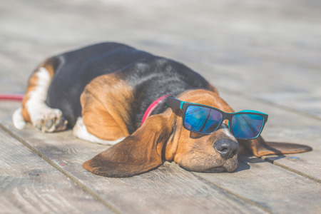 Little sweet puppy of Basset hound with long ears lying on a wooden floor and rests - sleeps. Puppy wearing sunglasses  and looks very funny. Growing up, playing, happiness, joke - Image Banco de Imagens