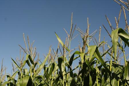 Corn Stalks with a Blue Sky