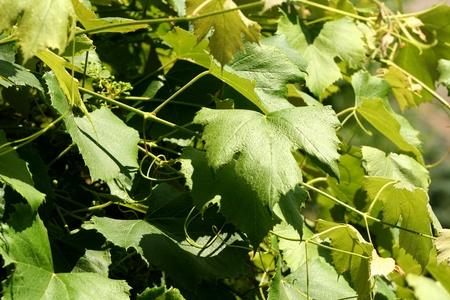 Green Grape Vines Stock Photo - 8460664