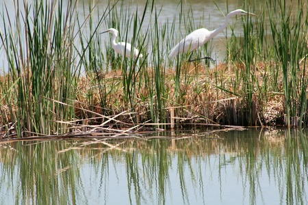 and egrets: Two White Egrets