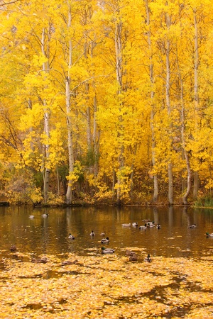 Autumn Colors near a pond with Ducks swiming photo