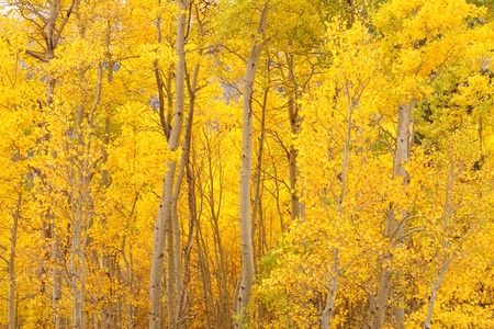 aspen leaf: Row of Yellow Aspen Trees in the Autumn