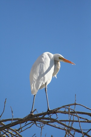 White Egret Standing on A Tree  photo