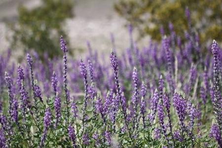 fleurs des champs: Champ de fleurs sauvages de lupin bleu