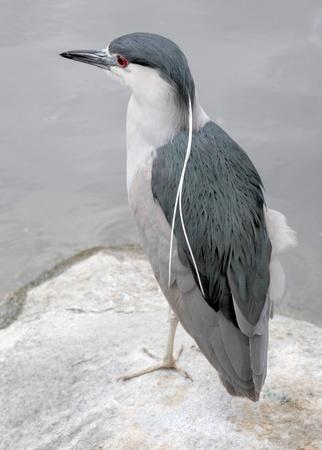 gray herons: Black Crown Night Heron
