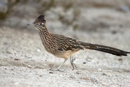 Wild roadrunner bird running in a sandy area in the desert