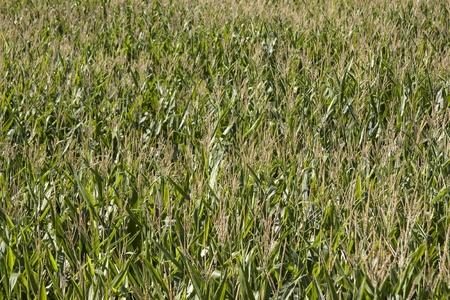 Field of Green Corn  Stock Photo
