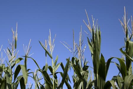 corn stalks: Corn Stalks  Stock Photo