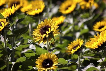 Field Yellow Sunflowers  Stock Photo