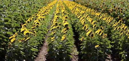 Rows of Yellow Sunflowers  Stock Photo