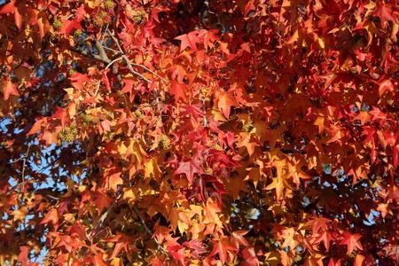 プラタナス: 青い空と赤と黄色の秋のプラタナスの葉します。