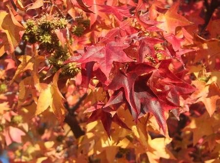 sicomoro: Oto�o rojo y amarillo de las hojas de un �rbol sic�moro.