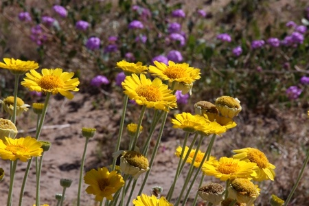 Yellow Daisy Wildflowers  photo
