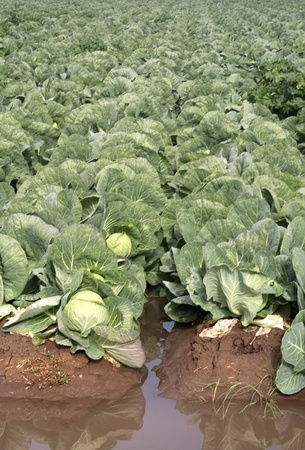 Heads of Green Cabbage in the Field photo