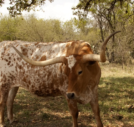 Red and White Texas Longhorn Cow photo