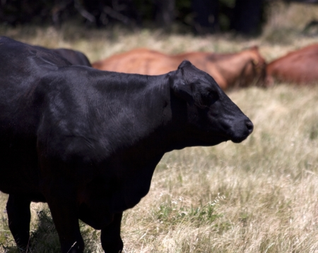 Black Angus Cow photo