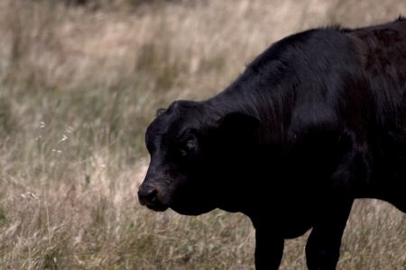 Black Angus Calif in a Pasture photo