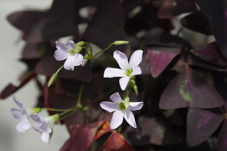 close up of oxalis flower
