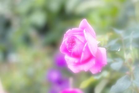 soft   focus: pink rose on soft focus