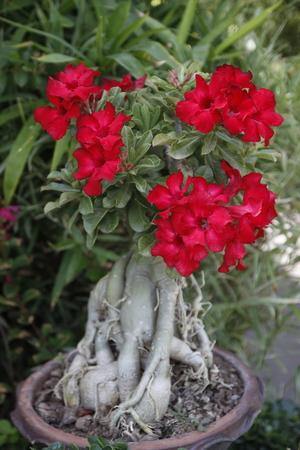desert rose: close up of desert rose flower