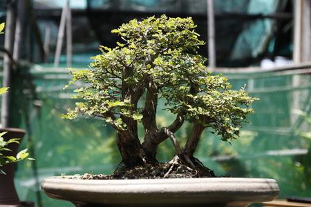 bonsai tree: close up of bonsai tree