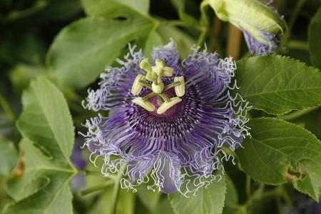 tropical shrub: close up of blue passion flower Stock Photo