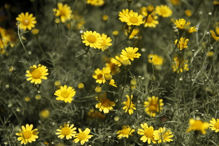 tropical shrub: background of yellow cosmos flower