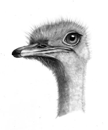 Pencil Drawing of an Ostrich Head Imagens