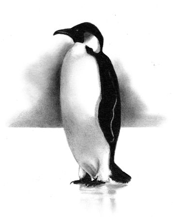 Freehand Pencil Drawing of Penguin Stock Photo - 8087798