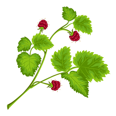 raspberries on the branch