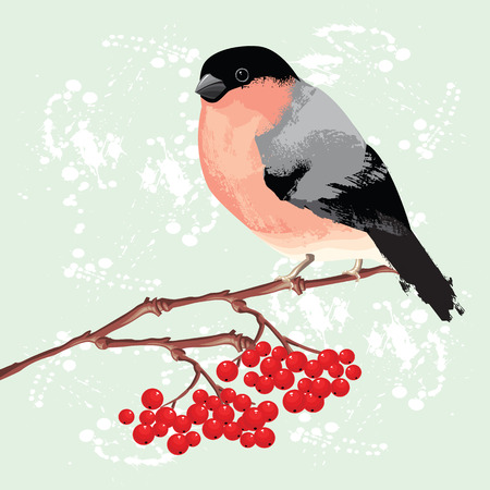 bullfinch: Bullfinch on branch of rowan tree. Background with splash of paint Illustration