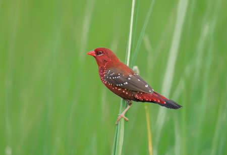 A beautiful red wild bird on the long grass from our lovely nature .