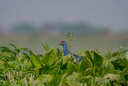 A wild bird in the green water plants in his habitat from our nature at wetland .