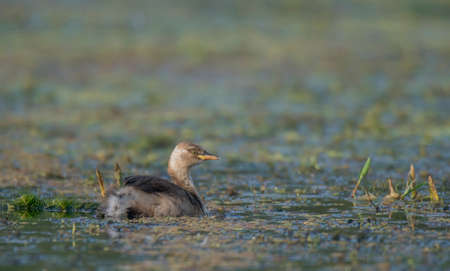 A little wild bird moving alone in the lake in his own habitat .