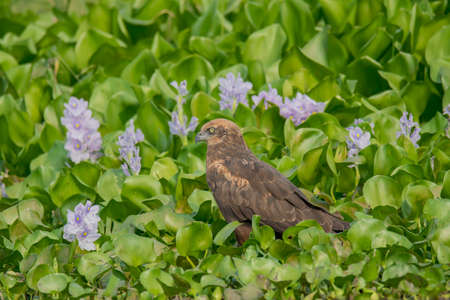 A wild bird in the water plants .