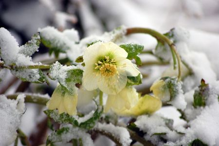 within: White hellebore flower, otherwise known as a Christmas Rose is blooming within the snow for an unusual floral photo.