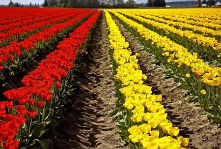 as far as the eye can see: Closeup of rows of a huge field of red and yellow tulips as far as the eye can see, set in Skagit Valley Washington.