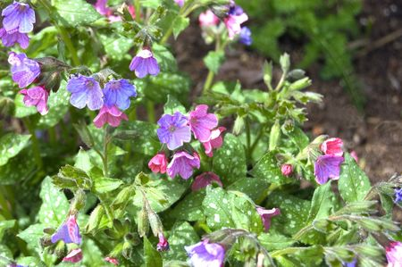 spot the difference: Pretty pink & blue and purple toned lungswort flowers have a speckled leaf, for an unusual and pretty garden plant.