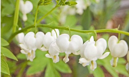 Beautiful and simple white bleeding heart flowers in a closeup photo. photo