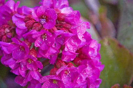 magenta flowers: Photo of the perennial Bergenia or Turtle Flower with its brillant magenta flowers.   Stock Photo