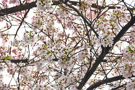 This looks like a pale pink explosion at a upward view of a full blooming cherry tree. photo