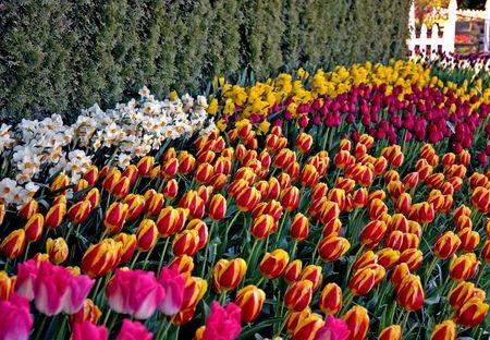Deze tuin is golven van fel gekleurde tulpen en witte narcissen voor een visueel verbluffende effect.