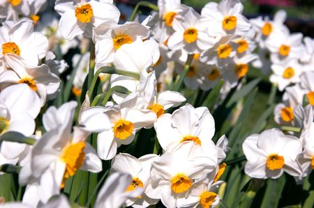 centers: Mass of white daffodils with orange colored centers for a gorgeous floral photo.